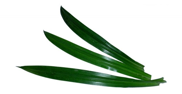 how to cut pandan leaves from plant